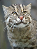 West Bengal State animal Fishing Cat