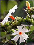 West Bengal State flower  Night-flowering Jasmine